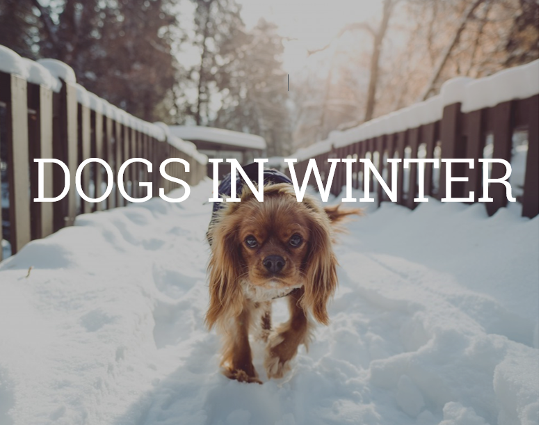 How to safely walk dogs in the winter by Toronto vet